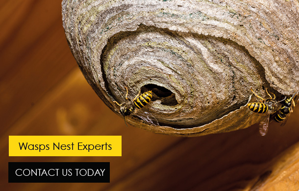 Buzz Bees Wasp Control In Essex and London
