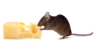 Buzz Bees London and Essex Rat and Mice Control